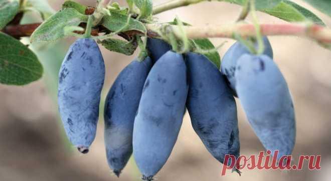 Сентябрьская подкормка жимолости для богатого урожая в следующем году   Моя успешная дача   Яндекс Дзен