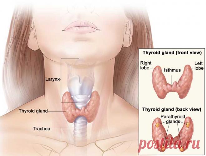 Почему Гипотиреоз — не снижение функции щитовидки, а усиление её деятельности? В интернет, научно-популярных и даже специализированных изданиях распространено мнение о том, что... Читай дальше на сайте. Жми подробнее ➡