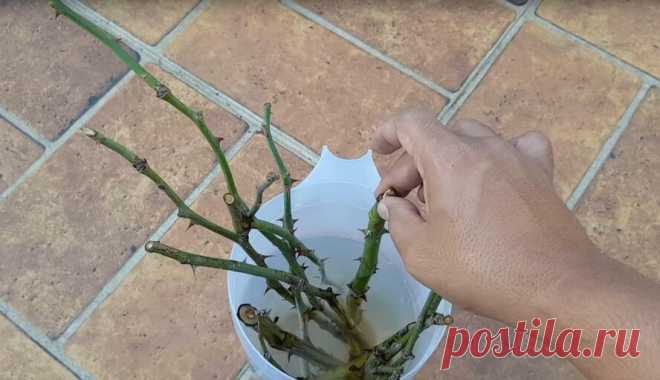 Как за 5 дней получить много саженцев роз для своего дачного участка