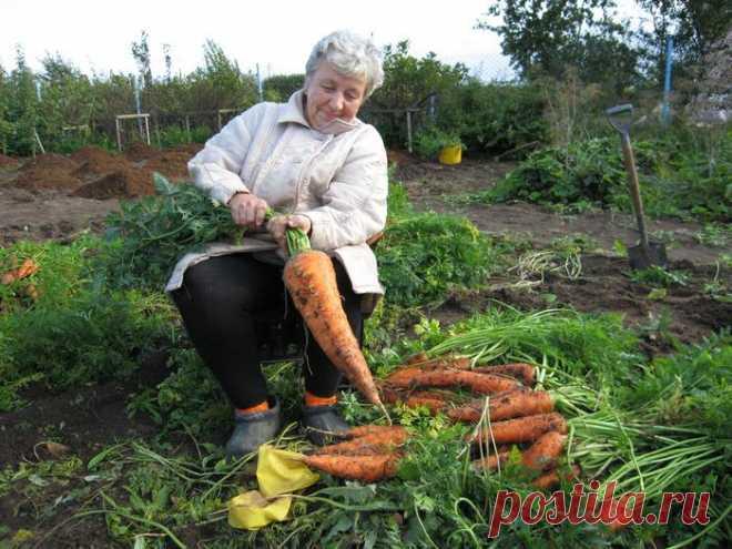 Морковь - сеем, лечим, прореживаем