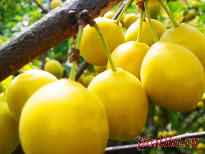 Безопасная консервация: помидоры и алыча Всем уже давно известно, что консервированные с уксусом, лимонной кислотой овощи и фрукты не очень полезны для организма человека. Тем более такую консервацию нельзя давать детям. Совсем безответствен…