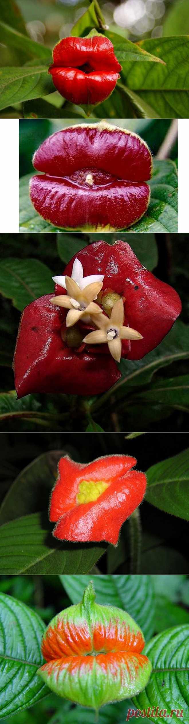 """Шутка природы – удивительный цветок """"Шлюхины губки"""" : НОВОСТИ В ФОТОГРАФИЯХ  Название этого необычного цветка в форме алых женских губ — psychotria elata  или же Психотрия  возвышенная. Но у него есть и более """"приземленное"""" название – """"Шлюхины губки"""". Он считается самым пикантным из-за своих лепестков ярко-красного цвета, напоминающих по форме женские пухлые губы.  Этот соблазнительный цветок растет в лесах Центральной и Южной Америки."""