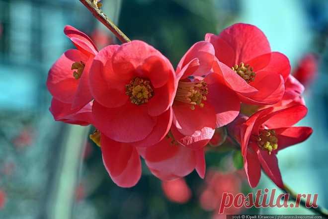 В Севастополе цветут персик, алыча и японская айва (фото) - Reeana news