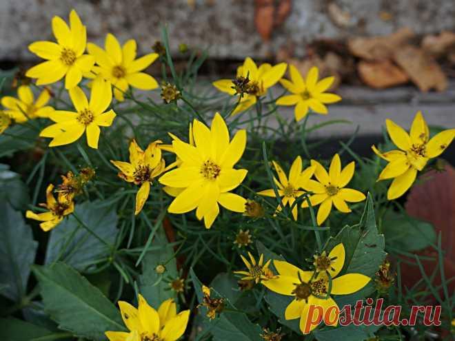 Кореопсис мутовчатый — солнечный многолетник для бедных и сухих почв. Выращивание, сорта, использование в дизайне. Фото — Ботаничка.ru