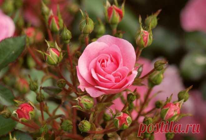Летний уход за розами. С целью формирования кроны растений цветоводы следят за равномерным ростом побегов. Наиболее вытянувшиеся прищипывают. Большинство сортов роз ремонтантных, чайно-гибридных, полиантовых и флорибунда зацветает в год посадки. Чтобы не ослаб рост куста, в первый год бутоны выщипывают, так как они потребляют большое количество питательных веществ. В конце вегетации их не удаляют. Бутоны способствуют одревеснению побегов, а следовательно, и лучшему сохранению зимой.