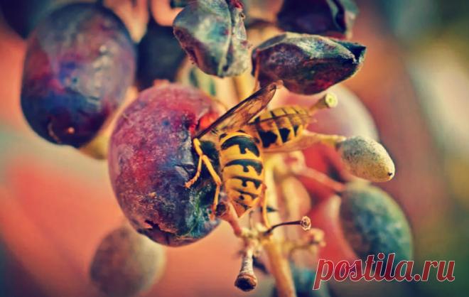 Чем опрыскать виноград, чтобы его не ели осы. Очень простой метод для сохранения урожая | Твоя Дача | Яндекс Дзен