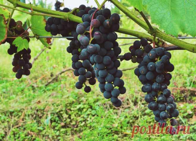 Вызревание виноградной лозы. Начинаем помогать винограду подготовиться к зиме. | В огороде лебеда. | Яндекс Дзен