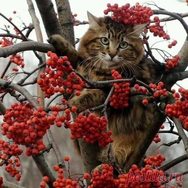 Рябиновый котик
