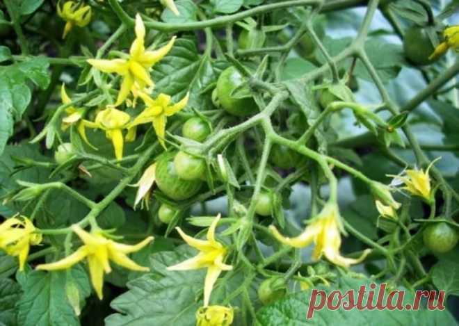 Какой раствор борной кислоты действительно приумножает завязи томатов. Инструкция эффектного эксперимента