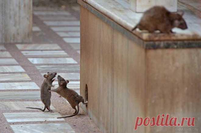 Тысячи крыс безбедно живут и здравствуют в индийском храме Карни-Мата. Считается, что они священны. Употребление пищи, которая сначала была поднесена крысам, — это почесть. Многие жители Индии специально приезжают издалека, только чтобы сделать крысам подношение. Самих же грызунов это, кажется, мало волнует. В самом деле, ну к чему все эти подношения, когда у вас проблемы в личной жизни? :) (с) фотограф Александр Химушин