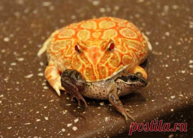 Украшенная рогатка: Лягушка, которой палец в рот не клади. Сила укуса в 50 кг! | Рекомендательная система Пульс Mail.ru