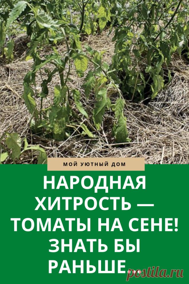 Как выращивать томаты на сене