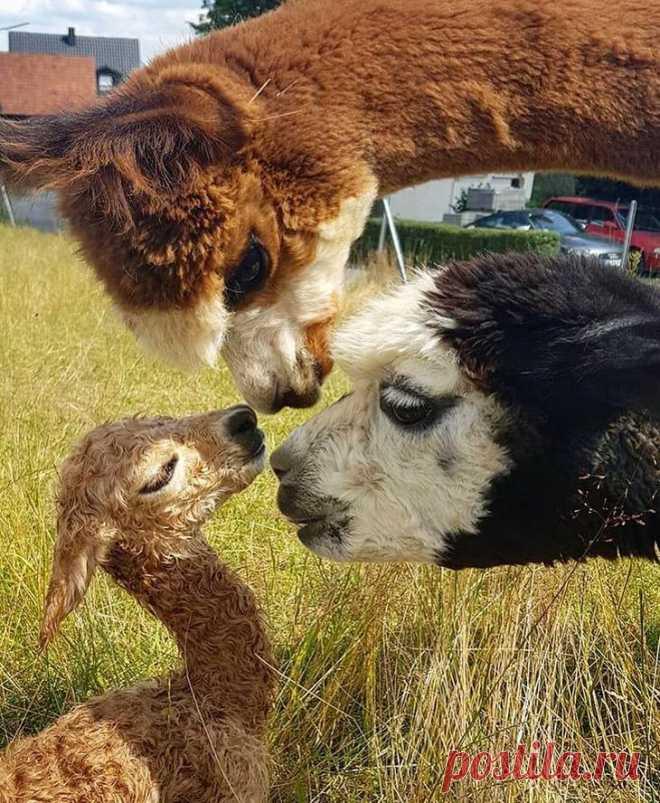 18 доказательств, что милые альпака могут потеснить в соцсетях и щеночков, и даже котят Дальний родственник верблюда, альпака во всем его полная противоположность. Во-первых, зверушка маленькая, немногим больше крупной овцы. Во-вторых, очень кроткого нраву, при том – любопытная до жути....
