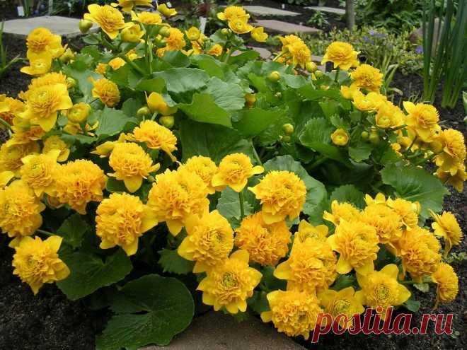 Жалею, что раньше не высадила эти необычайно красивые цветы-цветение зашкаливает | САД | Яндекс Дзен
