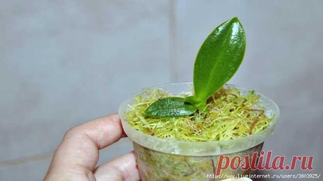 Размножение орхидей в пластиковой бутылке без цитокининовой пасты и гормонов
