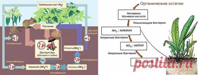 Нашатырный спирт: безопасная азотная подкормка для растений и средство борьбы с вредителями Применение нашатырного спирта для растений основано на высоком содержании в нем азота (82%) и полном отсутствии балластных веществ. В окружающей растения среде азот может присутствовать в аммиачной NH…