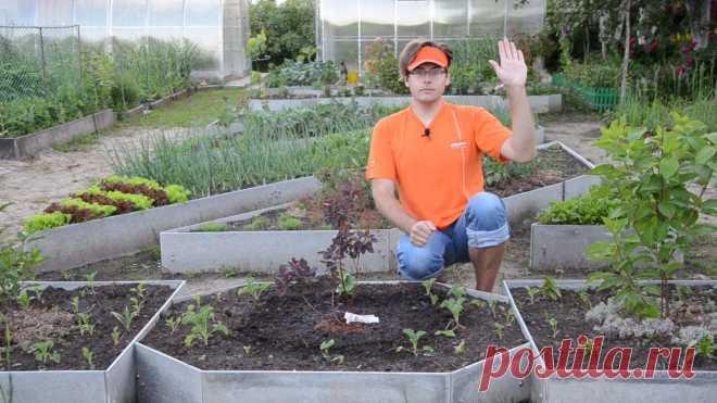 Скумпия: как посадить и выращивать «облачное дерево»? Видео — Ботаничка.ru