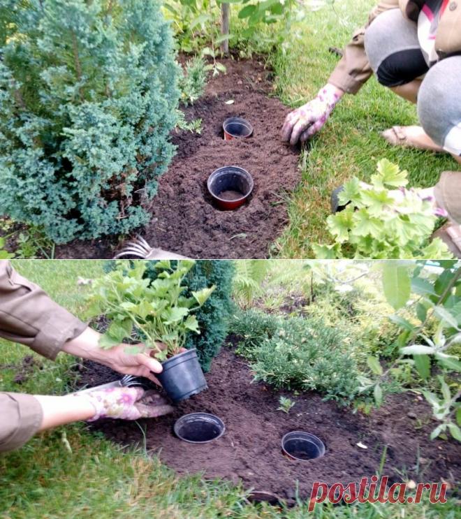 Посадка «горшок в горшок». О таком методе раньше не знала, показал профессиональный садовод   Собираем урожай   Яндекс Дзен