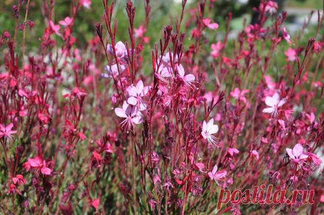 Гаура: описание цветка, посадка и уход за растением