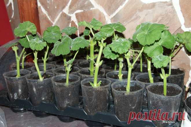 Выращивание черенками что это