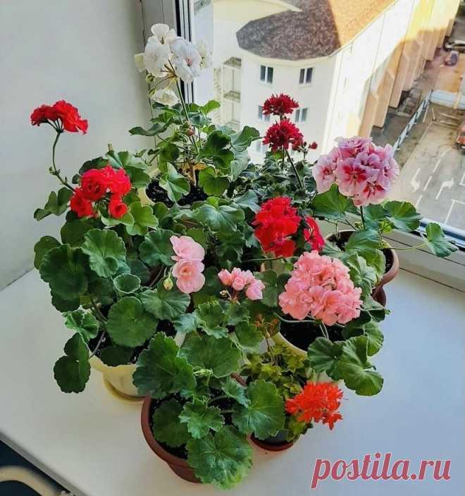 Как весной черенковать и легко укоренять герань | Цветущий фикус | Яндекс Дзен
