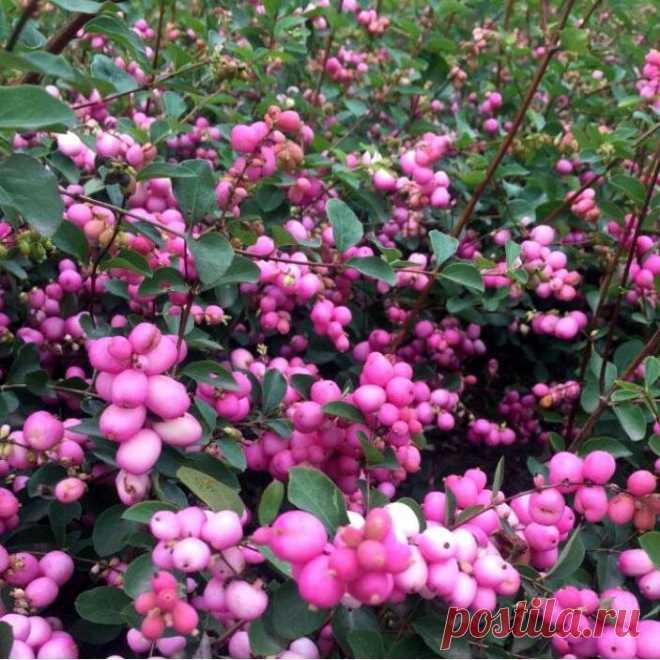 Рассказываю о красивых садовых растениях, при выращивании которых следует соблюдать осторожность. Часть 1 | Простые радости жизни | Яндекс Дзен