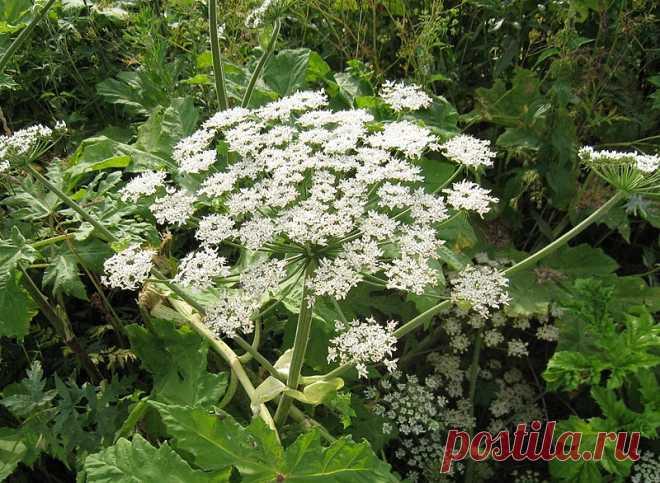 Ядовитые растения, о которых нужно знать каждому. Изучите фото сами и покажите их детям