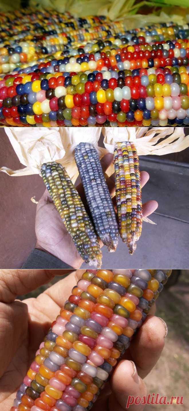 Самая необычная кукуруза в мире