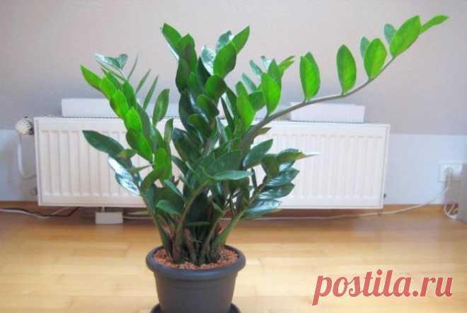 Замиокулькас - уход за Долларовым деревом в домашних условиях с фото