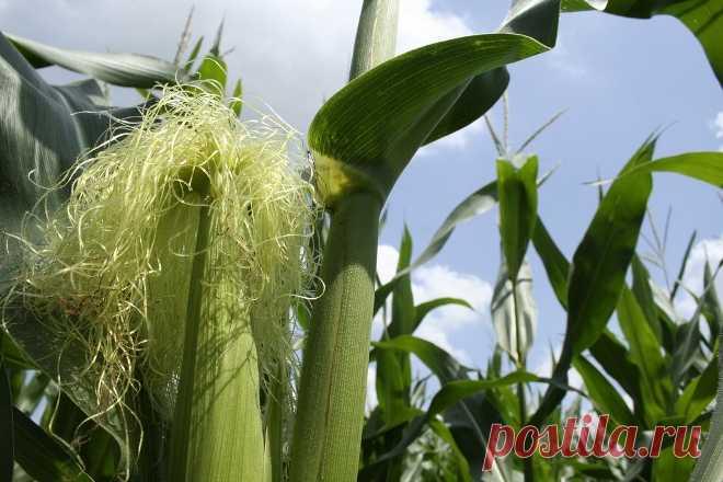 Кукурузные рыльца: лечебные свойства и противопоказания для женщин, мужчин и детей, рецепты для домашнего применения