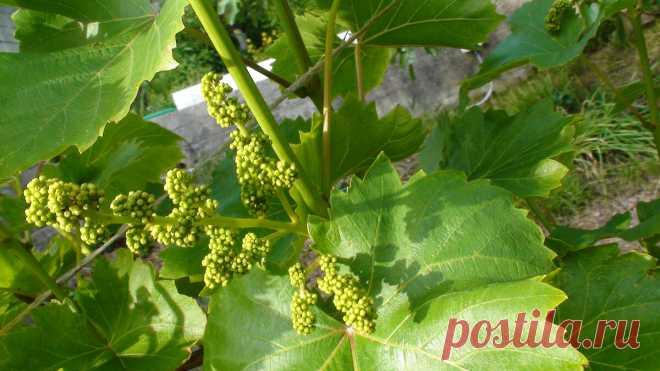 Весенняя подкормка винограда - залог будущего урожая | Ленивый огород | Яндекс Дзен