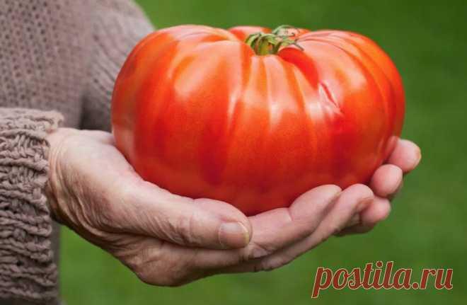 Чудо - томаты размером с тарелку | Записки огородницы | Яндекс Дзен