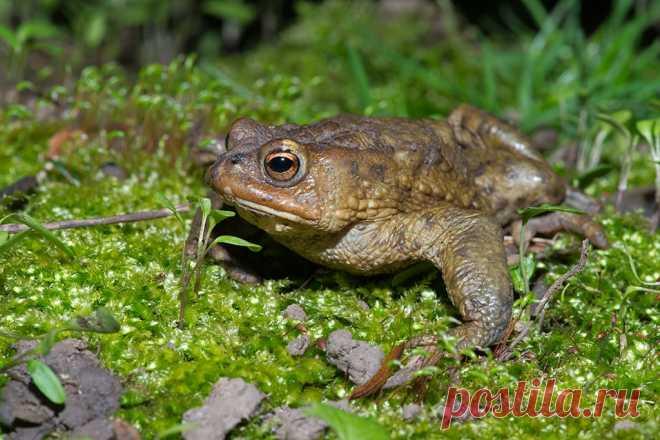 О жабах в жизни садоводов — с любовью. Как и зачем привлекать в сад? Фото — Ботаничка.ru