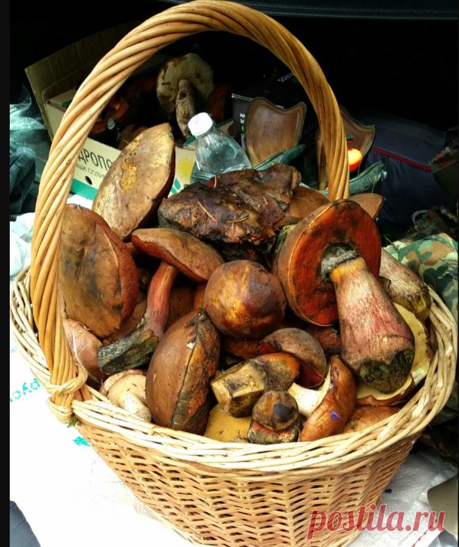 Отличные виды съедобных грибов, которые растут в российских лесах, но их почти никто не собирает | грибной критик | Яндекс Дзен