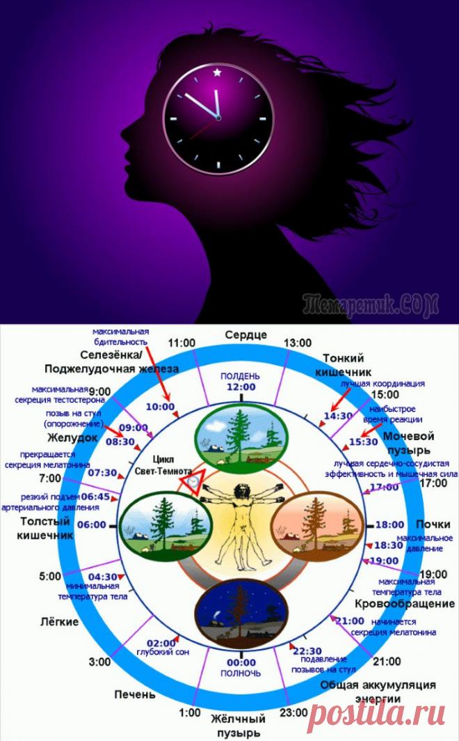 Как работают биологические часы человека