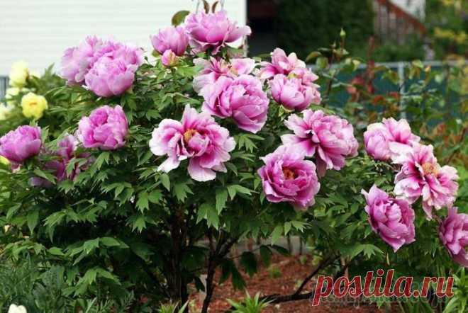 Посадка пионов весной: стоит ли вообще за это браться Большинство многолетних цветов легко переносят весеннюю посадку и даже предпочитают ее. С пионами же все сложнее. Но почему они в таком разнообразии представлены в магазинах весной, и как быть, если в...