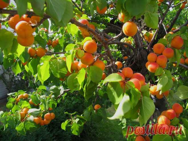 Как и из чего выращивать абрикос   Энциклопедия домовладельца