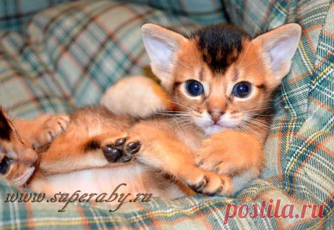 Абиссинские котята питомника Super-Aby
