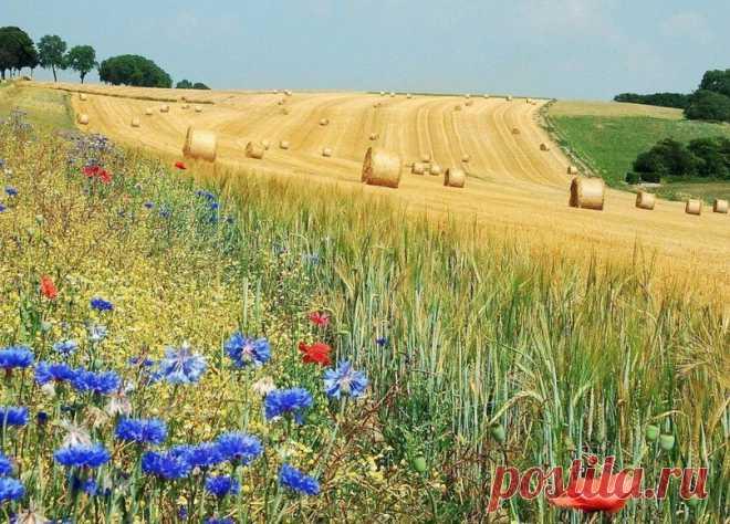 Васильки и маки на летнем поле, Бельгия