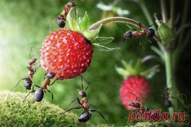 Как избавиться от муравьев на грядке Муравьи являются частыми гостями на дачных участках и сильно докучают садоводам. Если не регулировать численность муравьев в пределах садового хозяйства, то они способны нанести серьезный вред плодовы…