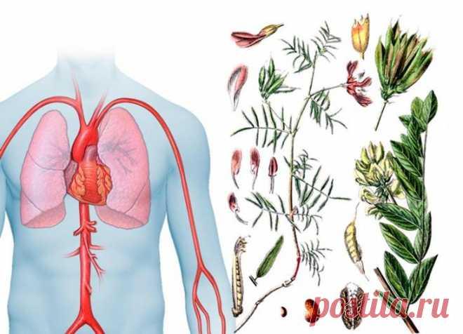 Волшебные свойства травы астрагал Астрагал – травянистое растение, обладающее массой полезных свойств. Его применяют при лечении различных заболеваний, в том числе и серьезных, таких как диабет, проблемы с сердцем и онкология.Это раст...