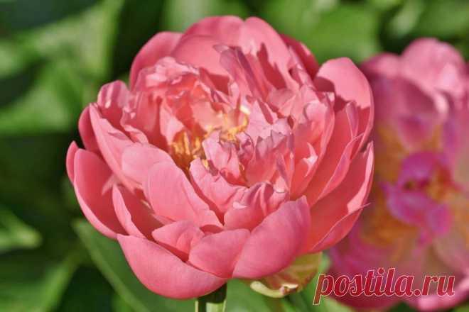 Мифы и легенды о цветах: Пион ~ Planetalsad