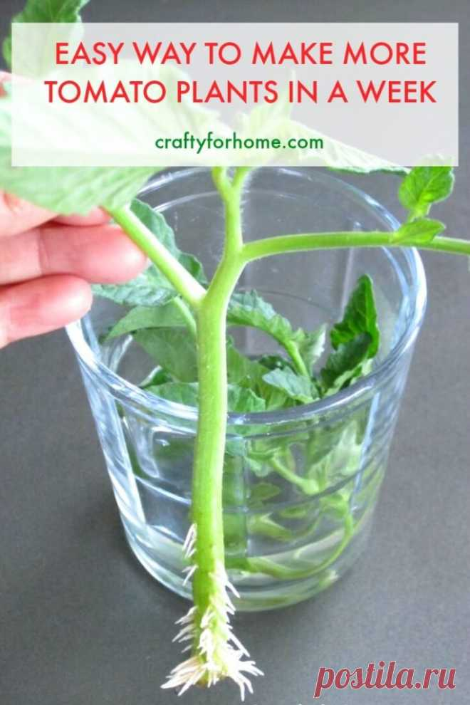 Как укоренить растения помидоров из черенков »вики полезно Crafty для дома