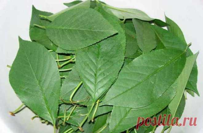 Листья и веточки вишни от любых болей в почках лечат. Просто завари и почки полечи. Собираем на зиму, чтобы круглый год была помощь организму!