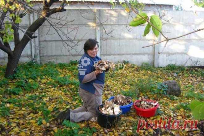 Собираем урожай грибов на даче - фото