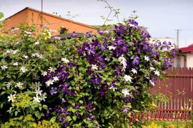 Клематис (ломонос) (189 фото цветов): посадка и уход в саду, описание сортов и нюансы выращивания. Особенности для каждой климатической зоны