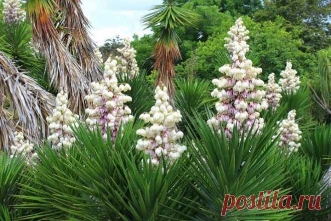 Юкка (65 фото): что это за растение? Уход за пальмой в домашних условиях, виды комнатного цветка юкка коротколистная и шидигера