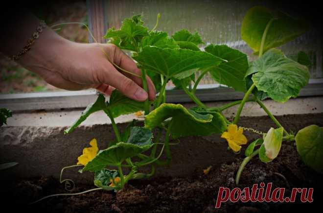 С 5 кустиков рассады огурцов собираю урожай на 2 семьи из 12 человек. Объясняю как добыть подобный урожай и собрать его раньше. | Фёдор Ширяев | Яндекс Дзен