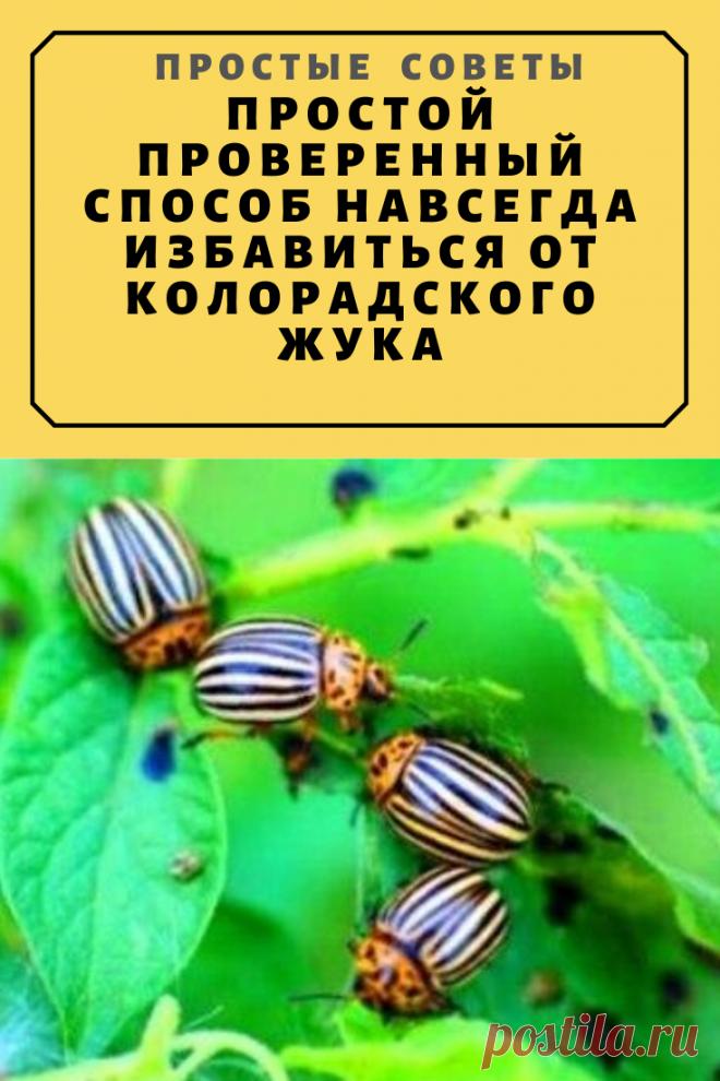 Простой проверенный способ навсегда избавиться от колорадского жука — Простые советы