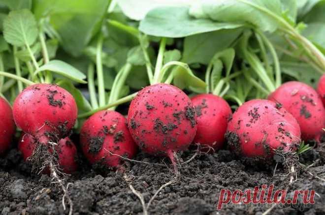 Выращивание редиса: как добиться урожая